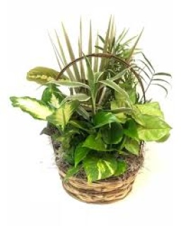 "10"" Dish Garden in a Wicker Basket"