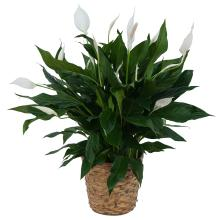 Large Spathiphyllum Plant in Basket